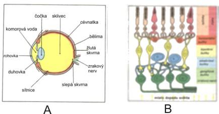 1c43e6e11 Obr. 1 A - průřez lidským okem, B - průřez sítnicí [15]